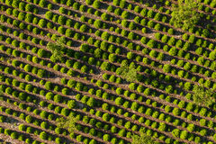Aerial view of the tree plantation Stock Image