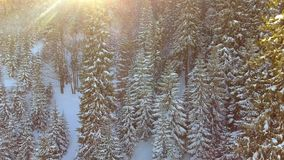 Aerial view of Trees forest woods. Snow winter season. Beautiful nature. stock video