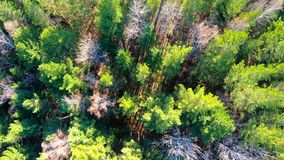 Aerial view of treetops. Camera moves forward over the forest. Siberia. Flying over the beautiful sunny green trees. Vertical camera shot stock video
