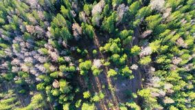 Aerial view of treetops. Camera moves forward over the forest. Siberia. Flying over the trees. Vertical camera shot stock video footage