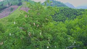 Aerial View Tropical Jungle and Tree with White Flowers stock video footage