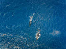 Aerial view of two Humpback whales off the coast of Oahu Hawaii Royalty Free Stock Image