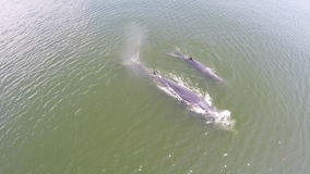 Aerial view of Two whale,Eden's whale Bryde's whale in gulf Thailand. stock video footage