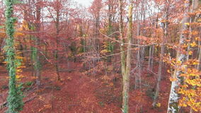Aerial View Up to the Top of the Beech Trees stock footage