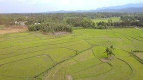 Aerial View Valley Landscape with Rice Fields Grazing Buffaloes. Aerial panorama vast valley with green rice fields distant grazing buffaloes village among trees stock video footage