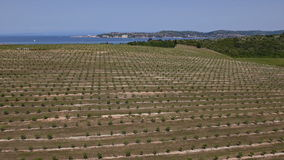 Aerial: view of vast olive tree plantation near the sea stock video footage