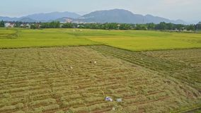 Aerial view vast rice fields against distant village. Aerial view vast rice fields among tropical plants by road at distant village against mountain and clear stock video footage
