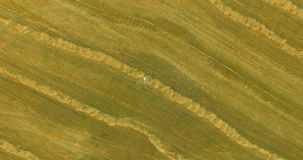 Aerial view. Vertical motion flight over man lying on yellow wheat field stock video