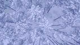 Camera flight above the top of snow covered young pine-trees in beautiful winter forest with no people Aerial video shot