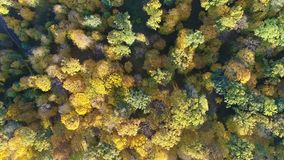 Aerial view video of orange top of trees in a forest in autumn. 4k video stock video