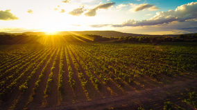 Aerial View Of A Vineyard. Backlit by the setting sun royalty free stock image