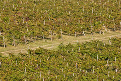 Aerial view of a vineyard in Istria, Croatia Royalty Free Stock Photo