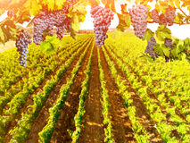 Aerial view of vineyard landscape. Branch of grapes ready for harvest. Picturesque aerial view of vineyard in Napa Valley, San Francisco Bay, California. Red royalty free stock photos