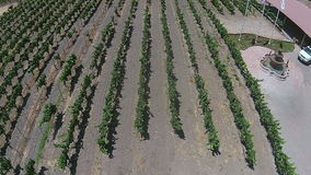 Aerial view of vineyards in California stock footage