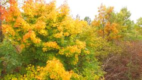 AERIAL VIEW. Vivid Trees At Grove In Autumn Time stock footage