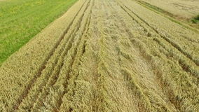 Aerial view wheat field. Devastated by thunderstorm stock video footage