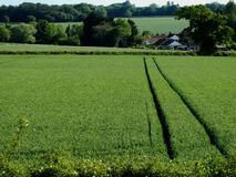 Aerial View of Wheat Field, Norfolk, UK royalty free stock photo