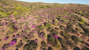 Aerial view of wild flowers - South Africa stock video