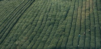 Aerial view of workers in tea plantation