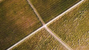 Aerial view of a yellow autumn vineyard. At sunset in Hungary, Tokaj Stock Image