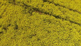 Aerial view of the yellow field with rape stock footage
