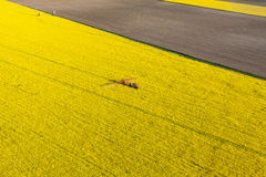 Aerial view of yellow  rape harvest fields with tractor Royalty Free Stock Image