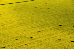 Aerial view of yellow rapeseed field. Aerial view of yellow rapeseed (Brassica napus) field affected by drought and rodents Stock Photography