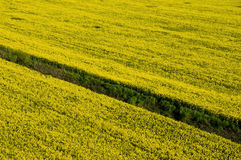 Aerial view of yellow rapeseed field. With dry irrigation channel Royalty Free Stock Images