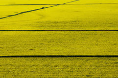 Aerial view of yellow rapeseed field. With straight road lines Royalty Free Stock Images