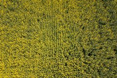 Aerial view of yellow rapeseed field. Aerial view agricultural. Fields royalty free stock photography