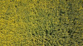 Aerial view of yellow rapeseed field. Aerial view agricultural. Fields stock images