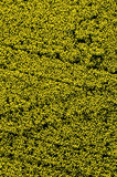 Aerial view of yellow rapeseed flower field. Aerial detail view of yellow rapeseed (Brassica napus) flower field Stock Image