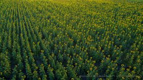 Aerial view of yellow sun flower blooming in lopburi thailand Royalty Free Stock Photo