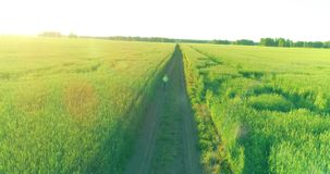 Aerial view on young boy, that rides a bicycle thru a wheat grass field on the old rural road. Sunlight and beams. Aerial view on young boy, that rides a stock footage