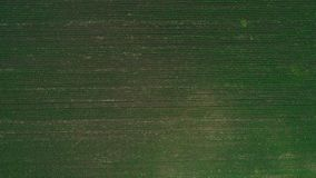 Aerial view of young flat field, full of pure green plants. 4K. stock video footage