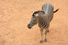 Aerial view of zebra Royalty Free Stock Photo