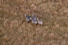 Aerial view of zebras in the Masai Mara, Kenya, Africa. Aerial view of zebras gathered together, in the Masai Mara, Kenya, Africa stock photos