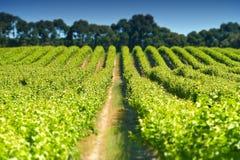 Aerial of vineyard in Coonawarra region Stock Images
