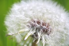 Aerial white spring dandelion macrofoto on a green background Stock Image