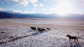 Aerial wild Mustang horse herd winter snow meadow fast. Winter range. Poor food. Wild feral horses. The herd gallops stock video footage