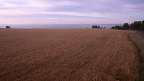 Aerial: Yellow field of wheat, blue sea. Summer. Morning rural landscape stock video footage