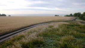 Aerial: Yellow field of wheat, blue sea. Summer. Morning rural landscape. Back view stock video