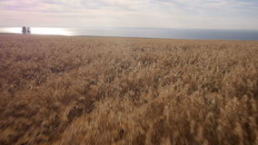 Aerial: Yellow field of wheat, blue sea. Summer morning. Aerial: Yellow field of wheat, blue sea. Summer morning rural landscape. High speed Flying at low stock video footage