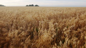 Aerial: Yellow field of wheat, blue sea. Summer. Morning rural landscape. High speed Flying at low altitude. Back view stock video footage