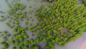 Aerial: Young Mangrove Tree Forest at Seaside near Beach at Koh Phangan, Thailand. HD Slowmotion. stock video footage