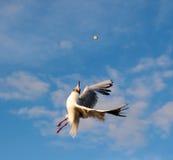 Aerialist de la gaviota Fotografía de archivo libre de regalías
