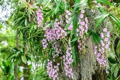 Aerides Korat Koki, híbrido del houlletiana y de los lawrenciae de Aerides, flor de Aerides de la orquídea Imagenes de archivo