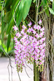 Aerides Lawrenceae, beautiful pink orchid flowers Royalty Free Stock Images