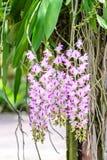 Aerides Lawrenceae, flores rosadas hermosas de la orquídea Imágenes de archivo libres de regalías