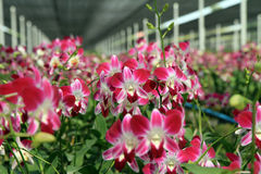 Aerides-lawrenceae Orchideengarten Lizenzfreie Stockbilder